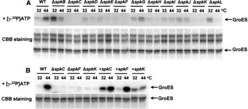Phosphorylation in vitro of recombinant GroES by soluble protein fractions isolated from Synechocystis sp. PCC6803 (GS), spk mutants, and some of the complemented mutants. (A) GroES was phosphorylated in vitro with protein extracts obtained from the wild-type cells of Synechocystis (GS) and spk mutants grown at 32°C, and incubated for 30 min at 44°C. Autoradiographs and Coomassie R-250-stained gel are presented. (B) Similar reactions have been performed with wild-type cells of Synechocystis (GS), and with the mutant strains defective in SpkF, SpkC, and SpkK, which have been complemented with pVZ-spkC, pVZ-spkF, and pVZ-spkK (designated as +spkC, +spkF, and +spkK, respectively).