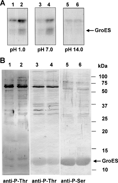 Stability of phosphorylated GroES at different pHs. (A) Autoradiographs of the phosphorylated GroES. Purified GroES (2.5 μg) mixed with either protein extracts derived from control (32°C) wild-type cells (10 μg) (lanes 1, 3, and 5) or with heat-treated (44°C for 30 min) cells (10 μg) (lanes 2, 4, and 6) was phosphorylated in vitro with [γ-32P]ATP. The reaction was terminated with 3× concentrated SDS–PAGE sample buffer and immediately subjected to SDS–PAGE (15% PAG). After electrophoresis, the proteins were transferred onto PVDF membrane. The membranes were stained with Ponceau red and incubated at 45°C for 2 h in 50 mM KCl–HCl (pH 1.0), 0.1 M Tris–HCl (pH 7), or 1 M KOH (pH 14). The radioactivity remaining in the membrane was revealed after its exposure onto a X-ray film. (B). Immunoblots of proteins from the wild-type cells of Synechocystis probed with monoclonal antibodies against phosphorylated Ser and Thr (anit-P-Thr and anti-P-Ser). Left panel: Protein extracts (25 μg) isolated from control (lane 1) and heat-treated (lane 2) wild-type cells were probed with anti-P-Thr antibodies. Central panel: Protein extracts (25 μg) isolated from control (lanes 3 and 5) and heat-treated (lanes 4 and 6) wild-type cells were probed with anti-P-Thr antibodies after phosphorylation in vitro with exogenously added recombinant GroES (2.5 μg). Right panel: The same as the middle panel but probed with anti-P-Ser antibodies.