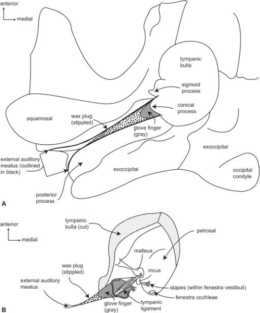 Gross Anatomy Of Right Ear Region Of A Generalized Myst Open I