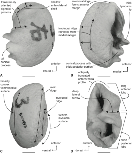 Pone-0021311-g014:The Comparative Osteology Of The
