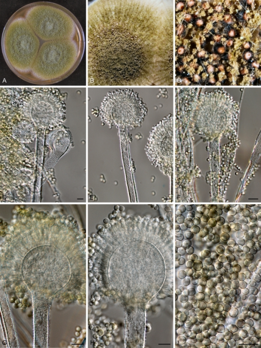 varied potentials of aspergillus species in synthesis Aspergillus ochraceus is the best known species of ochratoxin –producing aspergillus it grows at moderate temperatures and at a high water activity and is a significant source of ochratoxin a in cereals.