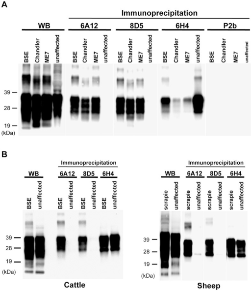 Immunoreactivity of mAbs 6A12 and 8D5 with PrPSc from different prion strains and animal species.(A) The brain homogenates [0.05% (w/v)] from ME7- and Chandler-affected mice were used. BSE: brain homogenate from BSE-affected mice. (B) Cross-reactivity of mAbs 6A12 and 8D5 with PrPSc from BSE and scrapie. Brain homogenates from unaffected [1% (w/v)] and affected [0.5% (w/v)] individuals were used. Total PrP in the brain homogenate was detected by routine western blotting (WB). BSE: brain homogenate from C-BSE-affected cattle; Scrapie: brain homogenate from scrapie-affected sheep. Molecular weight markers are shown on the left (kDa). The concentration of all mAbs for the immunoprecipitation assay was 1 µg/mL. MAbs 6A12 and 8D5 cross-reacted with PrPSc from different prion strains and animal species.