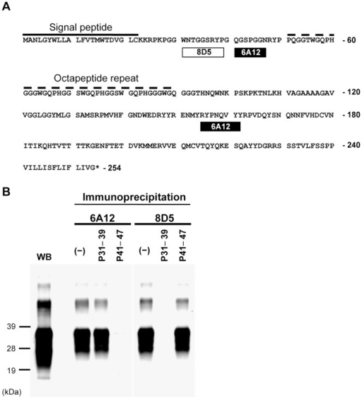 Epitope analysis.(A) The epitopes of 6A12 and 8D5 in the PrP amino acid sequence. The epitope positions of mAbs 6A12 and 8D5 are represented by boxes under the amino acid sequence of mouse PrP (residues 1–254) (Supplemental Fig. 2). The dashed line indicates the octapeptide repeat region. Sequence numbers are shown on the right. (B) Peptide competition assay. P31–39 and P41–47 are synthetic peptides. MAbs were pre-incubated with (P31–39 or P41–47) and without (−) synthetic peptide prior to use in immunoprecipitation. The brain homogenate [0.05% (w/v)] from BSE-affected mice was incubated with the antibody-peptide complex and immunoprecipitated with protein G-coupled magnetic beads. The immunoprecipitated PrP was western blotted and detected with HPR-conjugated mAb T2. Total PrP in the brain homogenate was detected by routine western blotting (WB). Molecular weight markers are shown on the left (kDa). P31–39 blocked the reactivity of mAb 8D5 to PrPSc, but not the reactivity of mAb 6A12 to PrPSc. Conversely, P41–47 blocked the reactivity of mAb 6A12 to PrPSc, while P31–39 did not.