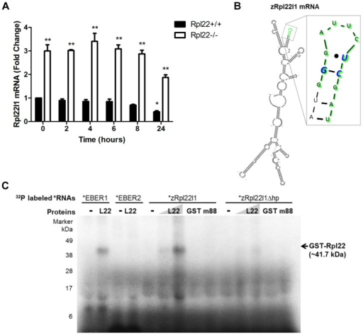 Rpl22 directly binds Rpl22l1 mRNA to regulate its expression levels.(A) In the absence of Rpl22, Rpl22l1 mRNA levels are more stable in the presence of Actinomycin D. Rpl22+/+ or Rpl22−/− 3T9 cells were treated with Actinomycin D (1 µM final concentration) and total RNA was harvested at the time points shown. Levels of Rpl22l1 mRNA were quantitated by qRT-PCR. Results are the average ± SEM of 3 independent experiments and the statistical significance indicated is (*, p<0.01, compared to Rpl22+/+ untreated; ** p<0.001, compared to Rpl22+/+ at each time point). (B) M-fold analysis [54] of zRpl22l1 mRNA reveals the presence of a consensus Rpl22 RNA-binding motif. In green are the residues deleted to remove the hairpin (zRpl22l1Δhp). In blue are the residues known to be essential for Rpl22 binding. (C) Autoradiogram of ribonuclease protection assay reveals Rpl22 protein binds to Rpl22l1 mRNA and this binding is abrogated upon removal of the hairpin. 32P labeled EBER1 (positive control), EBER 2 (negative control), zRpl22l1 or zRpl22l1Δhp RNAs were incubated in the absence or presence of GST-Rpl22 (41.7 kDa), GST (27 kDa) or m88, a GST-Rpl22 RNA binding mutant (41.6 kDa), as indicated, then UV-cross-linked, digested with RNase A, and run on a SDS protein gel. GST-Rpl22 was detected, hence, bound to EBER1 and zRpl22l1 RNAs but not Rpl22l1Δhp RNA, indicating Rpl22 binds to Rpl22l1 mRNA and this binding is abrogated upon removal of the hairpin. Numbers indicate molecular weight protein ladder in kDa.