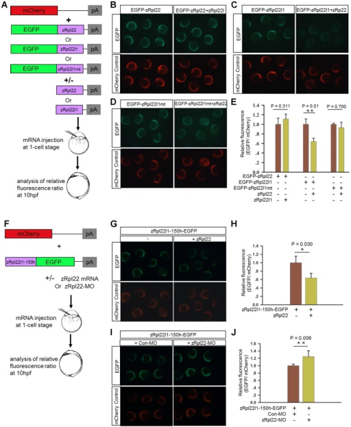Regulation of Rpl22l1 mRNA expression is mediated by a hairpin structure.(A) Schematic representation of the biosensor quantification assay. (B–D) Stereoimages of zebrafish embryos illustrate that co-injection of zRpl22 repressed fluorescence derived from an EGFP-Rpl22l1 fusion protein upon injecting mRNA for both and assessing fluorescence at 6 hours post fertilization. Rpl22, Rpl22l1 or mutated Rpl22l1 (Rpl22l1mt) coding sequence was fused to EGFP mRNA and co-injected with mCherry mRNA (injection control) along with the corresponding inhibitor mRNAs (zRpl22 or zRpl22l1) into 1-cell stage zebrafish embryos. (F) Schematic representation of the experimental procedure. A zRpl22l1-150h-EGFP heterologous reporter mRNA, containing the minimal sequence identified by mFOLD to form the hairpin structure, was co-injected with mCherry mRNA (injection control) and (G) Rpl22 mRNA or (I) Rpl22-Morpholino (Rpl22-MO) into 1-cell stage zebrafish embryos. (E, H, J) At 10 hpf, the relative fluorescence intensity was calculated and normalized to control injections (n = 3, each group). Data are shown as mean ± standard deviation (s.d.).
