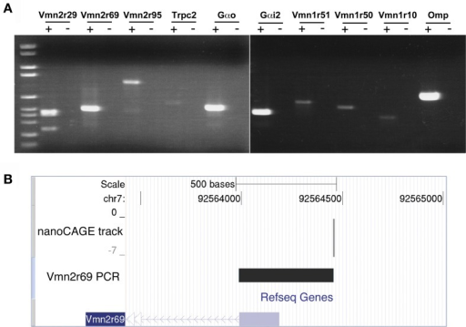 Validation of nanoCAGE data by RT-PCR confirms the expression in the MOE of V1Rs, V2Rs, and key components of the pheromone transduction pathway. (A) RT-PCR validation was carried out starting from the same total RNA sample of the MOE used for the nanoCAGE workflow. V1Rs and V2Rs to be validated were chosen by interest or on the basis of their TPM score from the list of all expressed VRs detected by nanoCAGE. DNA molecular weight Marker VI is used as DNA ladder (Roche Applied Science). (B) The TSS of Vmn2r69 identified by nanoCAGE was validated by RT-PCR with a forward primer designed in proximity of the TSSs and a reverse primer designed on the first exon. The sequence of the RT-PCR product is shown uploaded in the UCSC Genome Browser along with the nanoCAGE data.