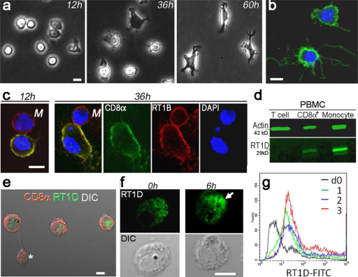 Spontaneous differentiation of PBMC CD8αα+CD3− cells into DC-like cells after a short-term in vitro culture(a) Phase-contrast micrographs show morphological changes in purified PBMC CD8αα+CD3− cells after culture as indicated. (b) Anti-CD8α antibody reveals dendrite-like cellular projections of PBMC CD8αα+CD3− cells after a 3-day culture. (c) Comparison of morphological changes between PBMC CD8αα+CD3− cells (red and green) and PBMC CD8αα−RT1B+ monocytes (M)(red); PBMC CD8αα+CD3− cells become flattened at 36hr, while a nearby monocyte remains spherical shaped. (d) Western blot shows expression of MHC II (RT1D) in PBMC CD8αα+CD3− cells in comparison to monocytes. (e) Intracellular RT1D (green) was demonstrated by confocal immunofluorescence after permeablization of the cells; the cells were co-stained for CD8α (red). A CD8+ T cell (asterisk) is shown as a negative control for RT1D staining. (f) Active synthesis of RT1D was detected by comparison between the cells before (0hr) and after Golgi blockage (6hr); an arrow shows an accumulation of RT1D in the cell. DIC, differential interference contrast. (g) Up-regulation of surface RT1D expression in PBMC CD8αα+CD3− cells after incubation with LPS as indicated. Bars = 10 µm.