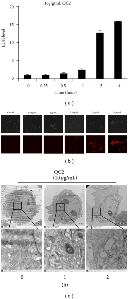 QC2 induced destruction of cytomembrane and ultrastructural changes in SMMC-7721 cells. (a) LDH level time-dependently increased in the supernatants of QC2-treated cells. (b) PI uptake of SMMC-7721 cells accumulated along with increase of QC2 concentration. (c) Electron micrographs of QC2-treated SMMC-7721 cells showed ultrastructure changes.