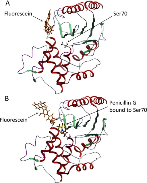 Molecular models of the fluorescein-labelled TEM-1 V216C mutant in the free-enzyme (E) and ES* states(A) Without penicillin G, the fluorescein molecule (orange) lies close to the active site of the enzyme. (B) With penicillin G, the fluorescein molecule (orange) stays away from the active site when penicillin G (yellow) binds to Ser70 in the active site. The ribbon diagrams represent the structure of the TEM-1 V216C mutant.