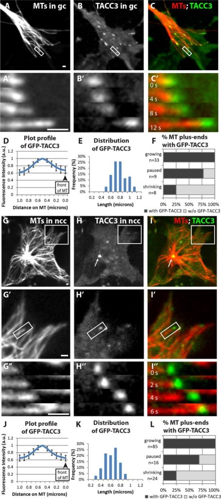 TACC3 can act as a +TIP in neuronal growth cones and neural crest cells. (A–C) Expression of mKate2-tubulin (A), GFP-TACC3 (B), and merge (C) in living growth cone (gc). See Figure 3 Supplemental Movie 1. (A′–C′) Magnified time-lapse montages of the boxed regions in A–C shows that GFP-TACC3 localizes to growing MT plus ends. (D) Fluorescence intensity profile of line-scan average from 30 MT plus ends in growth cones. (E) Histogram depicting the distribution of lengths of detectable GFP-TACC3 localization on the plus ends of MTs in growth cones. (F) Percentage of MT plus ends with GFP-TACC3 localization for different MT dynamics instability states. (G–I) Expression of mKate2-tubulin (G), GFP-TACC3 (H), and merge (I) in living neural crest cell (ncc). See Figure 3 Supplemental Movie 2. (G′–I′) Magnified views of the boxed regions in G–I. See Figure 3 Supplemental Movie 3. (G′′–I′′) Magnified time-lapse montages of the boxed regions in G′–I′. (J) Fluorescence intensity profile of line-scan average from 45 MT plus ends in neural crest cells. (K) Distribution of lengths of detectable GFP-TACC3 localization on the plus ends of MTs. (L) Percentage of MT plus ends with GFP-TACC3 localization for different MT dynamics instability states. Bar, 1 μm.