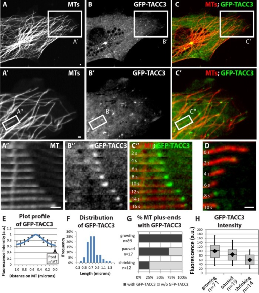 TACC3 can act as a +TIP in nonneuronal embryonic cells. (A–C) Expression of mKate2-tubulin (A), GFP-TACC3 (B), and merge (C) in cultured fibroblasts derived from embryonic somitic mesoderm. See Figure 4 Supplemental Movie 1. (A′–C′) Magnified views of the boxed regions in A–C. See Figure 4 Supplemental Movie 2. (A′′–C′′) Magnified time-lapse montages of the boxed regions in A′–C′. (D) Time-lapse montage of another MT in the process of undergoing catastrophe, with GFP-TACC3 localizing. (E) Fluorescence intensity profile of line-scan average from 43 MT plus ends. (F) Histogram depicting the distribution of lengths of detectable GFP-TACC3 localization on the plus ends of MTs. (G) Percentage of MT plus ends with GFP-TACC3 localization for different MT dynamics instability states. (H) Quantification of mean fluorescence intensity of 4 × 4 pixel square of GFP-TACC3 accumulation on the ends of MTs, when visible. Box-and-whisker plots indicate the mean (diamond), median, extrema, and quartiles. Bar, 1 μm.