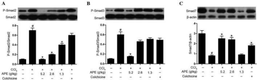 Effect of APE on Smad2/3 phosphorylation and Smad7 expression in livers of rats with CCl4-induced hepatic fibrosis. APE treatment (5.2 g/kg) significantly suppressed (A) Smad2 and (B) Smad3 phosphorylation in hepatic fibrosis tissue. APE treatment (1.3 and 2.6 g/kg) downregulated the phosphorylation of Smad2, but had no significant effect on Smad3 phosphorylation. (C) APE treatment (2.6 and 5.2 g/kg) and colchicine treatment (0.1 mg/kg) significantly elevated levels of Smad7 expression. #P<0.05, compared to control group; *P<0.05, compared to model group. APE, Astragalus and Paeoniae radix rubra extract.