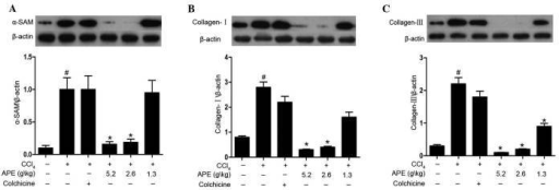 Effect of APE on α-SAM, collagen I and collagen III expression in livers of rats with CCl4-induced hepatic fibrosis. APE treatment (2.6 and 5.2 g/kg) decreased (A) α-SAM, (B) collagen I and (C) collagen III expression. APE treatment (1.3 g/kg) also downregulated collagen III expression. #P<0.05, compared to control group; *P<0.05, compared to model group. APE, Astragalus and Paeoniae radix rubra extract; α-SAM, α-smooth muscle actin.