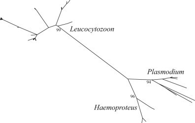 Maximum likelihood phylogenetic tree depicting inferred relationship among haematozoa mitochondrial DNA cytochrome b haplotypes obtained from waterfowl. Bootstrap support values for structuring of parasite haplotypes by genus are shown.