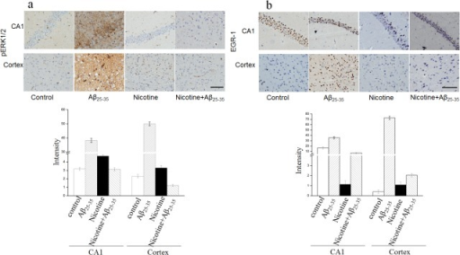 Nicotine antagonizes Aβ25–35-induced pERK1/2 and EGR-1 activation in the hippocampus.C57/BL/L6 mice were injected with Aβ25–35 or control sodium chloride into hippocampus by stereotaxis injection, the mice were then injected 0.15 mg/kg nicotine using a subcutaneous injection twice a day for 2 weeks. Identical doses of sodium chloride were administered as control. After treatment, the mice were sacrificed and the brain were removed for immunostaining for pERK1/2 and EGR-1. The representive figures of immunostaining activity of pERK1/2 and EGR-1 in CA1 regoin were presented in panel a and b respectivily; the quanfication of pERK1/2 and EGR-1 immunoactivity were shown under the figures.