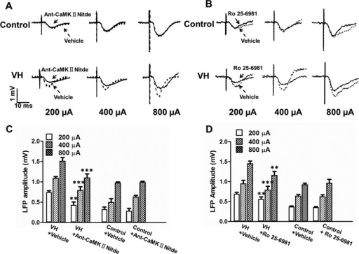 Effect of CaMKII inhibitor and NR2B antagonist on ACC-LFP in control and VH rats. (A) Typical recordings of LFP in the ACC to different intensities of MT stimuli (200, 400, and 800 µA) in control and VH rats after application of vehicle (dotted line) and CaMKII inhibitor Antennapedia-CaMKIINtide (solid line). (B) Typical recordings of LFP in the ACC to different intensities of MT stimuli (200, 400, and 800 µA) after application of vehicle and NR2B receptor antagonist Ro25-6981 (solid line). (C) Application of Antennapedia-CaMKIINtide had no effect on ACC-LFP in control rats, whereas it significantly decreased ACC-LFP in VH rats compared with vehicle. (D) Application of Ro25-6981 significantly decreased ACC-LFP in VH rats compared with vehicle. No effects were observed in control rats. Results are presented as mean ± SEM. Statistical significance was determined by 2-way ANOVA, followed by multiple comparisons adjusted by the Bonferroni's test, *P < 0.05, **P < 0.01, ***P < 0.001.