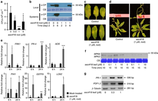 Ascr#18 enhanced pathogen resistance and activated defense responses in Arabidopsis.(a) Enhanced resistance to virulent Pseudomonas syringae pv. tomato (Pst) DC3000 after root pretreatment for 24 h with ascr#18. Bacterial growth was assayed at 3 d.p.i. Data are averages±s.d. (n≥3). (b) Quantification of TCV CP in inoculated (local) and uninoculated (systemic) leaves of plants root pretreated for 24 h with ascr#18. Leaves were harvested at 2, 3 and 6 d.p.i. for immunoblot analysis with the anti-CP antibody. Coomassie blue staining (CB) served as loading control. (c) TCV-inoculated (local) leaves photographed at 6 d.p.i. (d) TCV-infected plants photographed at 6 d.p.i. (e) Transcript levels as measured by qRT-PCR of defense-gene markers in leaves from plants root pretreated with ascr#18 (1 μM). Gene-transcript levels were determined at 6 h.p.t. and 24 h.p.t. Data are average±s.d. (n=3). (f) Activation of MAPKs MPK3 and MPK6 in Arabidopsis 10 and 15 min after leaf pretreatment with ascr#18. CB served as loading control. (g) Induction of SA and JA marker genes PR-1 and PDF1.2, respectively, after syringe infiltration of leaves with ascr#18, as measured by qRT-PCR. β-tubulin was used as internal control. *P≤0.05; **P≤0.005; ***P≤0.0005, two-tailed t-test.