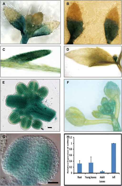 PANS1 is expressed in actively dividing tissue. Ppans1.PANS1-GFP-GUS fusion plants shows GUS expression in dividing tissues. a Shoot meristematic region and cauline leaves. b Young cauline leaves showing GUS expression in basal portion. c Root d GUS expression in axillary buds but not in adult cauline leaves. e High levels of expression in developing anthers and pistil. f Inflorescence g Meiotic stage anther. h Quantitative reverse transcription PCR (q-RT-PCR) of PANS1. Columns indicate the mean of levels of expression, error bars indicate standard deviation. Scale bar represents 100 μm in (e) and 20 μm in (g)