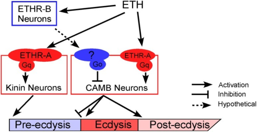 A model depicting functional roles of kinin and CAMB neurons in scheduling of the ecdysis FAP.ETH release from Inka cells activates ETHR neurons (ETHR-A and ETHR-B). ETHR-B neurons are more sensitive to ETH and become active immediately following ETH release. These neurons release signal(s) that engage Gαo signaling in CAMB neurons. ETH activates kinin neurons directly governing pre-ecdysis and CAMB neurons via ETHR-A and Gαq signaling. Initially, pre-ecdysis is induced, whereas CAMB neurons remain silent due to relatively low sensitivity to ETH and Gαo-mediated inhibitory input. Upon reaching adequate ETH levels in the hemolymph, ETH-mediated Gαq signaling overrides Gαo signaling in CAMB neurons, leading to co-release of CCAP, AstCC, MIP, and bursicon. This results in pre-ecdysis inhibition and the switch to ecdysis behavior and post-ecdysis behavior. Additional excitatory inputs from non-CAMB CCAP neurons contribute to vigorous ecdysis swings, resulting in head eversion. The dashed arrow represents hypothetical input to CAMB neurons from as yet unidentified ETHR-B neurons.