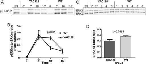 The MAPK pathway is dysregulated in the YAC128 iPSCs. (A) Representative time-course of ERK1/2 phosphorylation stimulated by bFGF in the YAC128 and wild-type (WT) iPSC lines. The ES lane represents a standard protein lysate that was used to normalize the band intensity among experiments. (B) Diagram demonstrating the profile of ERK1/2 activation (levels of pERK1/2). The data for the diagram were collected by investigating the level of pERK1/2 in several different clonal lines of HD YAC128 (n=5) and WT iPSCs (n=6). ERK1/2 activation was dramatically decreased in the HD YAC128 iPSCs 10 min after stimulation using bFGF, whereas ERK1/2 activation in the WT iPSCs remained high. Two-way ANOVA; time×genotype interaction, P=0.0013; Bonferroni post-test. (C) Western blot analysis of the levels of total ERK1/2 proteins. (D) The analysis revealed a decreased level of total ERK1 in the YAC128 lines (t-test, P=0.0189). * indicates the YAC128/Oct-eGFP lines.