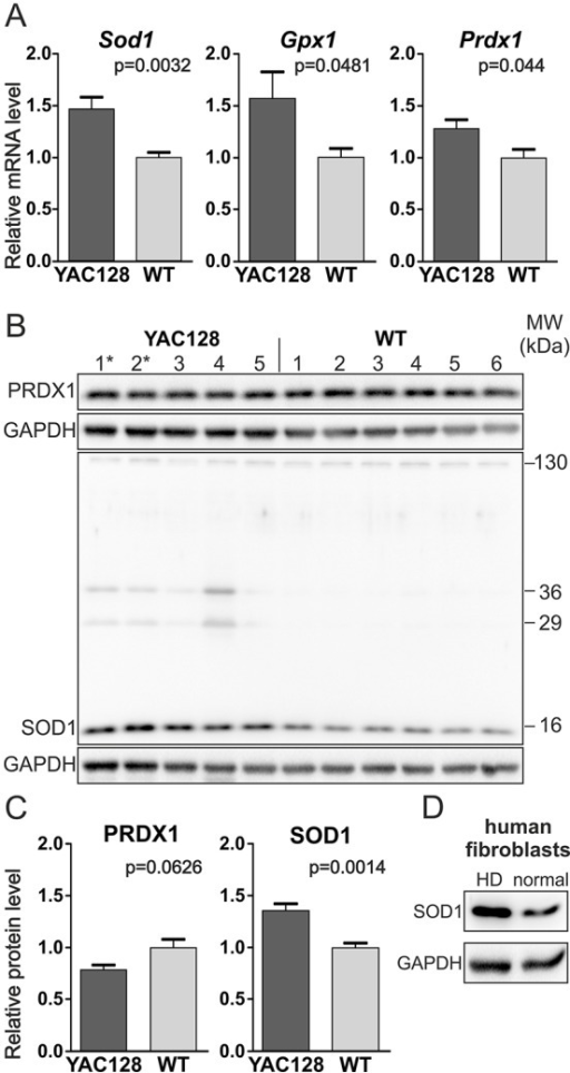 SOD1 was overexpressed in the YAC128 iPSCs. (A) Real-time qPCR analysis of the expression of oxidative-stress-related genes revealed the increased expression of Sod1 and less significant differences in the levels of Gpx1 and Prdx1 mRNAs. (B,C) Western blotting analyses of several clonal lines revealed the increased expression of SOD1 protein but not PRDX1 protein in HD YAC128 iPSCs. (B) Notably, additional SOD1-immunoreactive bands of approximately 29 and 36 kDa were observed in HD YAC128 iPSCs but not in WT iPSCs. * indicates the YAC128/Oct-eGFP lines. (D) Increased expression of SOD1 protein was also observed in the human HD fibroblast line GM04281 (Coriell) using western blotting.
