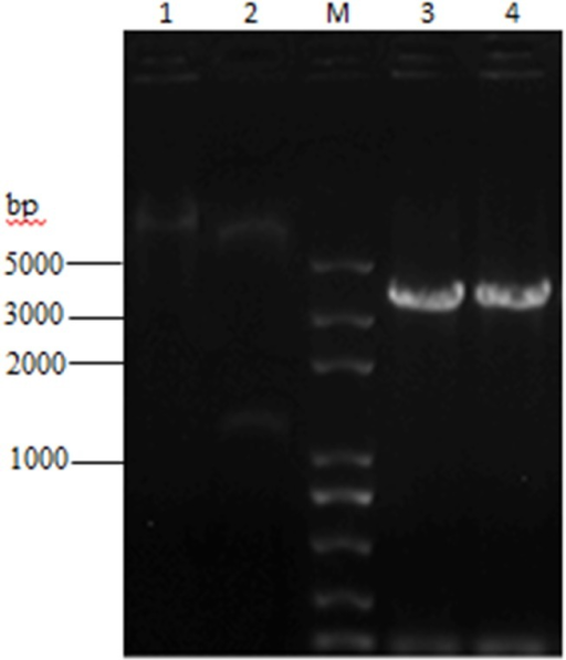 Agarose gel electrophoresis analysis of 3 combinant expression plasmid.The plasmid was confirmed by PCR and double digestion using NcoI and XhoI. Lane 1 was the fragment of recombinant plasmid DNA pTriEx-1.1 Hygro-β2-AR. Lane 2 was the electrophoresis results of digested products containing 2 fragments (6951 bp and 1257 bp). A 3300 bp fragment (lane 3 and lane 4) was amplified by PCR from the recombinant plasmid, which was identical with the sum of the size of target gene and vector sequences between NcoI and XhoI.