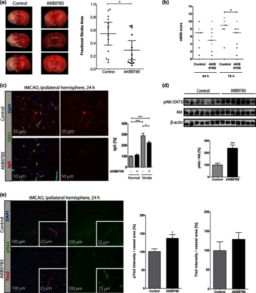 "Therapeutic targeting of Tie2 signaling using AKB-9785 in WT mice subjected to tMCAO. a TTC staining after tMCAO (3/group) showed significantly smaller infarcts 24 h post-stroke upon AKB-9785 treatment (n = 13). b An mNSS behavioral analysis of control and mice treated with AKB-9785 (30 mg/kg) showed a neurological improvement in treated mice 72 h after stroke incidence (24 h: control n = 8, AKB-9785 n = 9; 72 h: control n = 7, AKB-9785 n = 9). The neurological deficit scoring is described in ""Materials and methods"" and is composed of testing flexion, gait, coordination and sensory functions. The total scoring included all four behavioral tests (2-tailed unpaired non-parametric Mann–Whitney test). c IgG staining showed significantly lower permeability in AKB-9785 treated mice (n = 6). d Western blots of stroke hemisphere showed increased Akt activation in AKB-9785-treated mice (n = 7). e Tie2/pTie2 staining of the stroke hemisphere revealed significantly higher pTie2, but not total Tie2 levels in AKB-9785-treated animals (n = 5)"