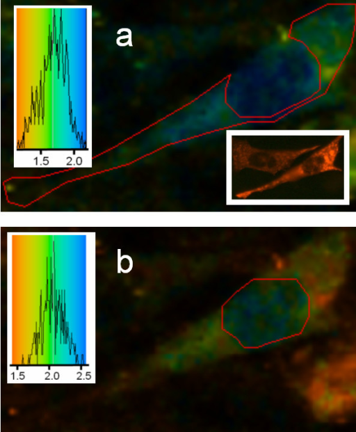 Lifetime imaging of GFP-PKC co-expressed with DsRed-cav in CHO cells: effect of Ca2+-ionophore. 2P-FLIM images were collected as described in the legend to Figure 2. Cells were treated with ionophore for 3 min before mounting and fixation as described in Methods. The epifluorescence image in the inset shows the DsRed-cav distribution (cytoplasmic) which was not affected by the Ca2+ ionophore. When the cytoplasmic area was analysed, (a) as shown by the area within the red line, both orange and green/blue areas are seen indicating the presence of both GFP-PKC and quenched GFP-PKC – note that only GFP lifetime can be observed in the lifetime images. This indicates that DsRed-cav was sufficiently close to the PKC-GFP to induce a quenching of the GFP by the DsRed, i.e. the PKC is translocating to caveolin containing areas. By contrast, in the nucleus (b) only GFP-PKC was expressed and the lifetime was unquenched (~2.2 ns). This is the same as the lifetime for GFP-PKC when only the latter is expressed (see Figure 2). Cells shown are representative images from replicate experiments.