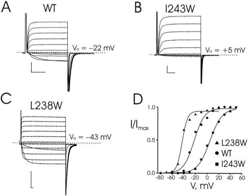 Recordings from tryptophan-substituted Shaker channels. (A) Two-electrode voltage-clamp recordings of wild-type channels expressed in Xenopus oocytes. Currents were recorded in KD98 medium with a holding potential of −90 mV, test pulses (30-ms duration) from −60 to +50 mV in 10-mV increments, and a tail potential of −70 mV. (B and C) Similar recordings taken for mutations I243W and L238W. For L238W, test pulses were from −80 to +20 mV with duration of 200 ms and each test pulse was followed by a fixed tail voltage −80 mV. (D) Voltage-activation curves for wild-type, I243W, and L238W mutant channels, calculated from tail-current analysis. Solid curves are Boltzmann fits to the equilibrium activation data. Scale bars in all data panels represent 1 μA, 10 ms.