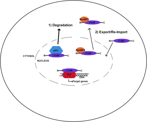 Distinct modes of β-catenin nuclear export. APC-directed export of β-catenin may be coupled to degradation, whereas RanBP3-directed export may allow for cycles of export and reimport. See text for details.