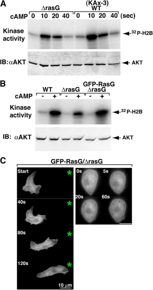 Ras regulates PI3K signaling and distribution along the membrane. (A and B) Activation of Akt/PKB is shown. Aggregation-stage cells (see Materials and methods) were treated with 10 μM cAMP for the indicated time (A) or at 10 s (B) and then lysed, Akt was immunoprecipitated with anti-Akt antibody, and Akt activity was assayed (Meili et al., 1999). Akt protein levels were determined in each sample by Western blot analysis (bottom panels). (C) Fluorescent images of GFP-RasG/rasG  cells exposed to a chemoattractant gradient (left) or to uniform chemoattractant stimulation (right). An asterisk indicates the position of the micropipette. The numbers in the top left corners represent the time after initiation when the image was captured. The data are representative of eight separate experiments.