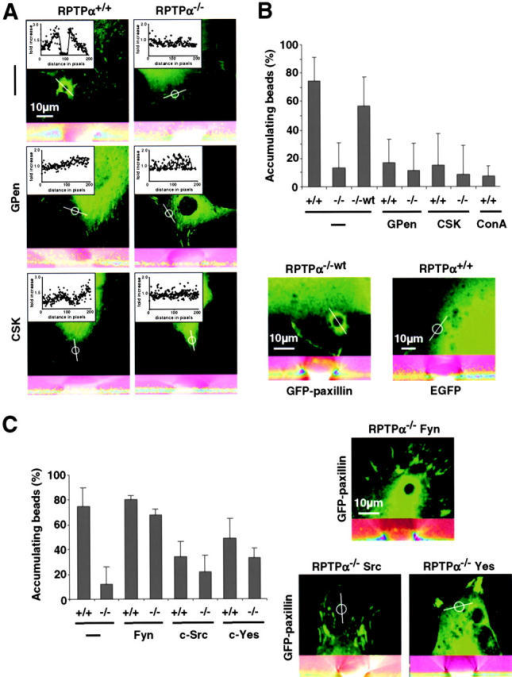 Reinforcement requires RPTPα- and αv/β3-integrin–dependent activation of SFK. (A, top) RPTPα+/+ and RPTPα−/− cells were transfected with GFP-paxillin and were spread for 30 min. Large beads (5.9-μm diam) coated with FN were spun onto the cells and incubated for 30 min. The fraction of bound beads causing accumulation (fluorescence intensity >2× surrounding; inset) of paxillin was determined. Confocal stacks were resliced along the indicated line over the beads position (bottom of each panel), shown are overlays of GFP-paxillin fluorescence intensity in pseudo-colors and the differential interference contrast image. (middle) RPTPα+/+ and RPTPα−/− cells were pretreated with GPen. (bottom) RPTPα+/+ and RPTPα−/− cells were cotransfected with CSK and analyzed as described above. (B, top) Percentage of FN- or Con A–coated beads causing accumulation of paxillin. Results shown are the mean ± SD of three independent experiments. (bottom) RPTPα−/−wt cells (−/−wt) 30 min after application of beads. (bottom, right) RPTPα+/+ cells transfected with EGFP alone 30 min after application of beads. (C) RPTPα+/+ (+/+) and RPTPα−/− cells (−/−) were spread for 30 min with or without cotransfection of wild-type Fyn, c-Src, or c-Yes and GFP-paxillin. Accumulation was analyzed as described above. (left) Percentage of FN-coated beads causing accumulation of paxillin. (right) Representative micrographs of RPTPα−/− cells coexpressing Fyn (top), c-Src (bottom, left), c-Yes (bottom, right), and GFP-paxillin 30 min after application of FN-coated beads.