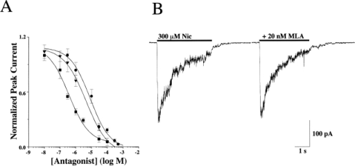 Antagonist sensitivity of the AChR currents activated in IMR-32 cells. (A) The concentration response relationship is shown for d-tubocurare (d-TC; ▪), mecamylamine (Mec; ▾), and hexamethonium (C-6; •) on IMR-32 cells with IC50 values of 0.4 ± 0.2, 3.2 ± 0.6, and 8.5 ± 3.0 μM, respectively. All drugs were coapplied with 100 μM ACh at a holding potential of −60 mV. The peak amplitudes of the resulting currents were then plotted against concentration of the antagonist after normalizing to the peak amplitude of the current recorded in the absence of any antagonist. All three drugs completely blocked the currents at higher concentrations. (B) Representative currents are shown for testing the sensitivity of IMR-32 AChR currents to the reversible α7 selective antagonist MLA (20 nM). No inhibition was observed, which was consistent with the idea that the macroscopic current recorded in the cells reflects predominately the activity of α3 AChRs.