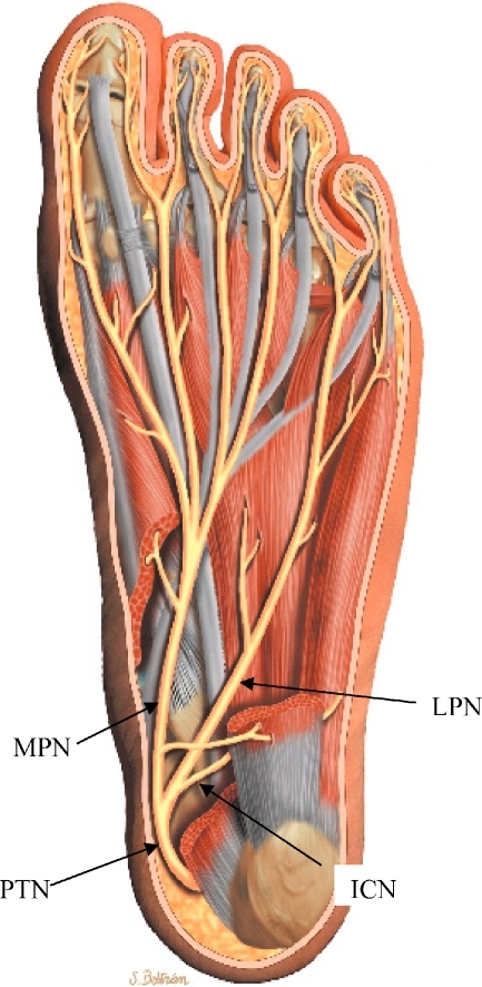 An Anatomic Drawing Of The Sole Of The Foot After Remov Open I