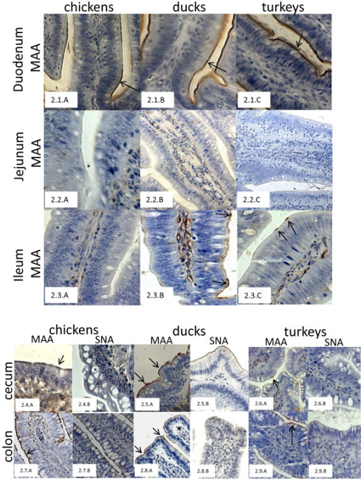Distribution of α2,3SA-gal and α2,6SA-gal receptors along the jejunum of 4-week-old chickens (2.1.A-C), 2-week-old ducks (2.2.A-C) and 3-week-old turkeys (2.3.A-C) using plant lectins, MAA and SNA, respectively. Sections of ceca from 4-week-old chickens (2.4.A, B), 2-week-old ducks (2.5.A, B) and 3-week-old turkeys (2.6.A, B) stained with MAA and SNA respectively. Sections of colon from 4-week-old chickens (2.7.A, B), 2-week-old ducks (2.8.A, B) and 3-week-old turkeys (2.9.A, B) stained with MAA and SNA, respectively.