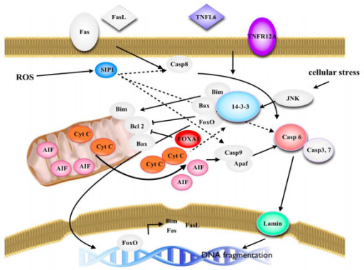 Schematic diagram of candidate phosphoproteins implicated in apoptotic pathways. The color pictures represent proteins that were identified in this study, the grey pictures are proteins that have been previously identified.