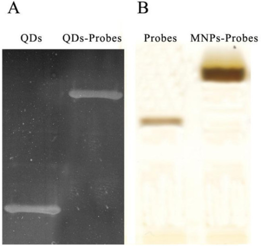SDS-PAGE results of QDs and superparamagnetic nanoparticles.