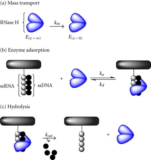 Illustration of the ribonuclease H reaction, involving (a) mass transport, (b) enzymatic adsorption, and (c) hydrolysis [89].