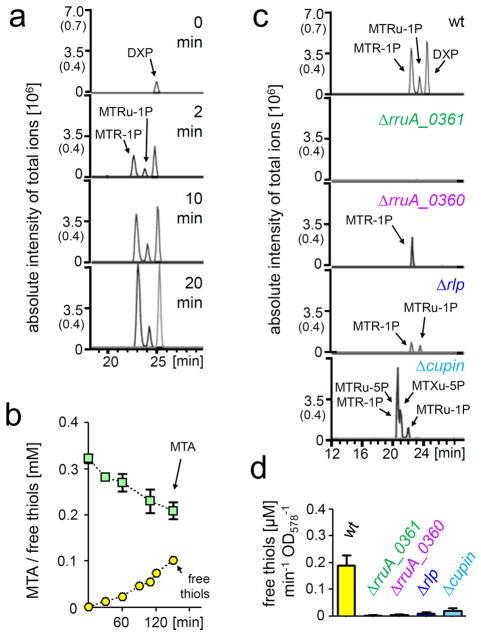 Methanethiol release and DXP formation are linked in R. rubrum(A) Time-dependent formation of intermediates in the MTA-isoprenoid shunt upon MTA-feeding. Cell suspensions of R. rubrum (1 ml, OD578=6.0) were incubated with 0.4 mM MTA and analyzed after 2, 10, and 20 minutes respectively by LC-FTMS-metabolomics. (B) Time dependent formation of free thiols by R. rubrum upon MTA uptake. Cell suspensions of R. rubrum (1 ml, OD578=4.0) were incubated with 0.4 mM MTA. The supernatant was analyzed for consumption of MTA and formation of free thiols. Free thiols formed were identified as methanethiol by HPLC and FTMS (Supplementary Fig. 4). At least two independent cell batches were used in these assays. Data represent mean values ± standard deviation. (C) LC-FTMS-Metabolomics analysis of MTA-isoprenoid shunt mutants. Cell suspensions of R. rubrum wild type and different mutants were incubated with MTA (according to A) and analyzed after 10 minutes by LC-FTMS-metabolomics, see Supplementary Fig. 6 for the detailed analysis of the cupin mutant (D) Thiol release activities by R. rubrum wild type and different mutants. Cell suspensions of R. rubrum were incubated with MTA according to (B), and the formation of free thiols over time was quantified. At least two independent cell batches were used in these assays. Data represent mean value ± standard deviation.