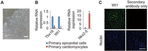 Primary culture of epicardial cells from E12.5 mouse embryos.(A) Representative image of primary epicardial cells generated from E12.5 mouse hearts, as described in the Materials and Methods section. (B) The relative mRNA expression levels of epicardial markers (Tbx18 and Wt1) and a cardiomyocyte marker (Nkx2-5) in primary epicardial cells and cardiomyocytes, as determined by quantitative real-time PCR (n = 3; *P<0.0001 vs. primary epicardial cells). The results are normalized to Gapdh expression, and the relative expression level is given as a ratio to primary epicardial cells. (C) Immunostaining for Wt1 (green) and DAPI nuclear staining (blue) of primary epicardial cells after 4 days in culture. The data are presented as the mean ± SD. Scale bars: 200 µm.