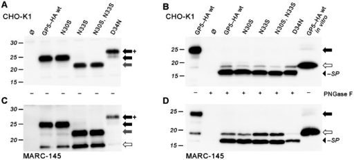 Processing analysis of cell expressed GP5–HA to reveal glycan-independent signal peptide cleavage.CHO-K1 (A, B) and MARC-145 (C, D; permissive for PRRSV) were transfected with plasmids encoding GP5–HA as wildtype (wt) and mutants with deleted or added glycosylation sites near the signal peptide cleavage site; Ø, empty plasmid control. Cell lysates were subjected to SDS-PAGE and Western blot (anti-HA tag) before (A, C) and after (B, D) deglycosylation with PNGase F. Molecular weight marker given on the left-hand side; arrows indicate sizes of unprocessed GP5–HA (white), glycosylated protein (black: wildtype glycosylation; grey: lacking one glycan; black/+: with one additional glycan), and deglycosylated protein without signal peptide (black arrowhead). In B and D, in vitro-generated GP5–HA (in the absence of microsomes, thus intrinsically unprocessed, i.e. not glycosylated and still containing the signal peptide, cf. Fig. 2) is shown in the rightmost lane for size comparison. Deglycosylated GP5–HA and all variants mostly ran faster than unprocessed protein.
