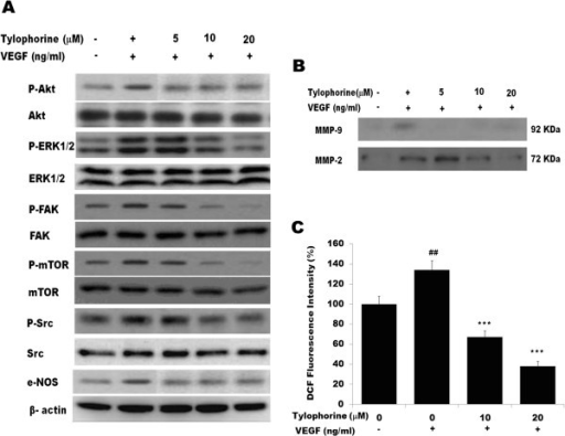 Western blot analysis of the effect of tylophorine on VEGFR2-mediated downstream signaling. (A) HUVECs were pre-treated with tylophorine followed by the stimulation with 50 ng/mL of VEGF for 20 min. Data were presented as means ± SEM, n = 6. (B). Effect of tylophorine on VEGF-induced MMP-2 secretion from HUVECs after 20 h examined by zymography. Data were presented as means ± SEM, n = 6. (C). Effect of tylophorine on HUVECs intracellular ROS level as detected by DCFH-DA staining assay. Data were presented as means ± SEM, n = 6. ##p < 0.01 VEGF-treated group versus no VEGF-treated group; **p < 0.01; ***p < 0.001 versus VEGF-stimulated group.