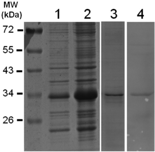 Expression analysis of recombinant AtSINAL7.The E. coli cell extracts electrophoresed on SDS-PAGE were revealed with Coomassie brilliant blue staining. Lane 1: Protein extract from uninduced bacteria. Lane 2: Soluble proteins obtained after 5 h IPTG induced bacterial culture. Lane 3: Purified AtSINAL7 fraction stained with Coomassie blue. Lane 4: Western blott analysis of the purified AtSINAL7 fraction revealed using anti-His antobodies. MW (kDa), PageRuler Prestained Protein Ladder (Fermentas).