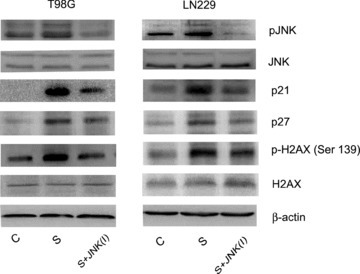 Scriptaid-mediated DNA damage response and alteration in cellcycle regulatory molecules in glioma cells are JNK dependent. Glioma cells were treated with 20 μM scriptaid in the presence or absence of 20 μM JNK inhibitor SP600125, and Western blot analysis was performed. A decrease in pJNK, p21, p27 and H2AX expression respectively was observed in cells treated with scriptaid in the presence of JNK inhibitor, as compared to those treated with Scripatid alone. Representative blot is shown from three independent experiments with identical results. Blots were reprobed for β-actin to establish equivalent loading.