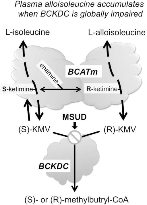 Schematic showing how impairment of BCKDC increases alloisoleucine formation. The first step in BCAA metabolism is a reversible transamination catalyzed in most peripheral tissues except liver which lacks this activity by the mitochondrial isoform of branched-chain amino acid transaminase (BCATm, BCAT2). On the left, the interconversion of L-Ile and S-ketomethylvalerate [(S)-KMV] due to BCATm activity is shown (for simplicity, the transamination partners, usually Glu and α-ketoglutarate are not shown). BCATm's catalytic mechanism involves a covalent linkage of intermediates to the pyridoxyl-5-phosphate cofactor which in turn undergo several transitions during the reaction 20. A Schiff base aldimine of Ile first forms with the cofactor (not shown) and that in turn rearranges to an S-ketamine (shown) which is finally released as S-KMV. S-KMV can then be metabolized by BCKDC which catalyzes the next step. If BCKDC is locally inhibited, S-KMV can either enter the circulation for metabolism in another tissue such as liver or undergo reverse transamination back to Ile. Occasionally, the S-ketamine of Ile may undergo a transition to an enamine. This enamine is susceptible to tautomerization leading to an R-ketamine intermediate of Ile (shown for simplicity on the right side). The likelihood of this secondary rearrangement and tautomerization increases when KMV accumulates due to global BCKDC impairment (⊘) such as in Maple Syrup Urine Disease (MSUD). The R-ketamine can be converted to R-KMV (also a BCKDC substrate) or in a stepwise fashion to L-alloisoleucine 20 which can also exit the mitochondria and enter the circulation. Since liver lacks BCAT activity, alloisoleucine is thought to be formed in other tissues.