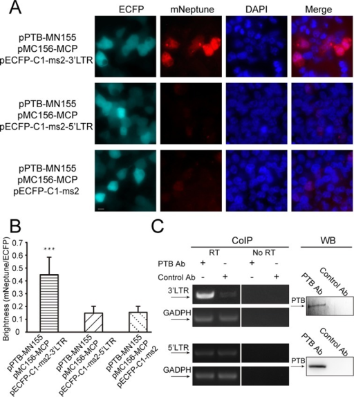 Imaging the interactions between PTB and the 3′LTR and 5′LTR of HIV-1 mRNAs in live cells. (A) TriFC (mNeptune channel) and ECFP signals of 293T cells co-expressing PTB and the 5′LTR or 3′LTR sequences of HIV mRNAs in the TriFC system. Cells were transfected with plasmids expressing MC156-MCP and PTB-MN155 fusion proteins. The reporter mRNAs contained the ms2 operator and the 5′LTR or 3′LTR sequences of HIV mRNAs. Scale bar: 10 μm. (B) Quantitative analysis of TriFC efficiency for the interactions between PTB and the 5′LTR or 3′LTR sequences of HIV mRNAs. Statistical analysis was based on the fluorescence intensity ratio of TriFC/ECFP. The data are given as the mean + SD (n = 60). Statistical significance was evaluated using a two-tailed Student's t-test. *** indicates significantly different from the control groups without 3′LTR or 5′LTR RNA sequences, P< 0.001. (C) Verification of the interaction between PTB and the 3′LTR of HIV-1 mRNAs. Co-immunoprecipitation (CoIP) assays were performed with cell lysate and anti-PTB antibody or control antibody IgG1. The binding of PTB to the 3′LTR of HIV-1 mRNAs was detected by reverse transcription (RT) followed by PCR amplification using primers specific to the 3′LTR of HIV-1 mRNAs and the housekeeping GAPDH mRNA. No amplification was detected in the 'No RT' control samples. CoIP experiments also showed there is no interaction between PTB and 5′LTR of HIV-1 mRNA. Western blotting (WB) was performed to monitor the presence of PTB in the samples used in the CoIP assays.