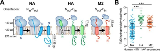 Nin-Cout (type II) NA TMDs from human H1N1 IAVs have a broad hydrophobicity range. (A) Topologies for the IAV membrane proteins NA, HA, and M2 and how their TMD positioning influences ribosomal involvement during the membrane integration step. (B) Dot plot showing predicted hydrophobicity (ΔGapp) variation in the unique NA, HA, and M2 TMDs from human H1N1 IAV sequences. Note that TMD hydrophobicity decreases with increasing positive ΔGapp.