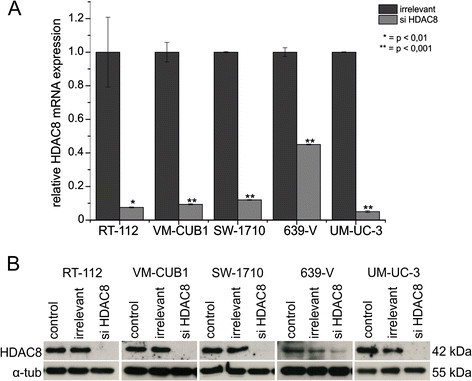 Efficiency of HDAC8 knockdown by a specific siRNA in the urothelial cancer cell lines. (A) Relative HDAC8 expression after siRNA mediated knockdown in urothelial carcinoma cell lines compared to irrelevant control as examined by quantitative RT-PCR analysis (72 h). The HDAC8 expression values were normalized to TBP as a reference gene and are displayed on the y-axis. p < 0.01 and p < 0.001 were defined as highly significant and marked as * and **. (B) Western blot analysis confirmed the effects of HDAC8-siRNA mediated knockdown at the HDAC8 protein level in comparison to normal and irrelevant siRNA controls (72 h). As a loading control α-tubulin was stained on each blot.