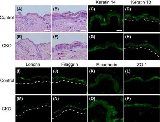 Histological analysis of control and afadin conditional knockout (CKO) skin. (A, B, E, F) Hematoxylin and eosin staining of adult control (A, B) and afadin CKO (E, F) skin. A and E are lower, and B and F are higher magnification photographs. (C, D, G–P) Immunohistochemistry of adult control (C, D, I–L) and CKO (G, H, M–P) skin using the antibodies shown at the top of each photograph. Dotted lines in G and J indicate basement membrane. Scale bars: 80 μm in A, E, 25 μm in B, C, D, F–P.
