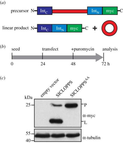 Expression and processing of SICLOPPS in HeLa cells. (a) Translation of SICLOPPS constructs produces a linear precursor that undergoes post-translational splicing to yield a linear product and a circularized peptide or protein (adapted from [30]). (b) Experimental timeline for testing SICLOPPS expression by transient transfection in this study. (c) Immunoblot detection of the SICLOPPS linear precursor (P) and the faster migrating linear product (L).